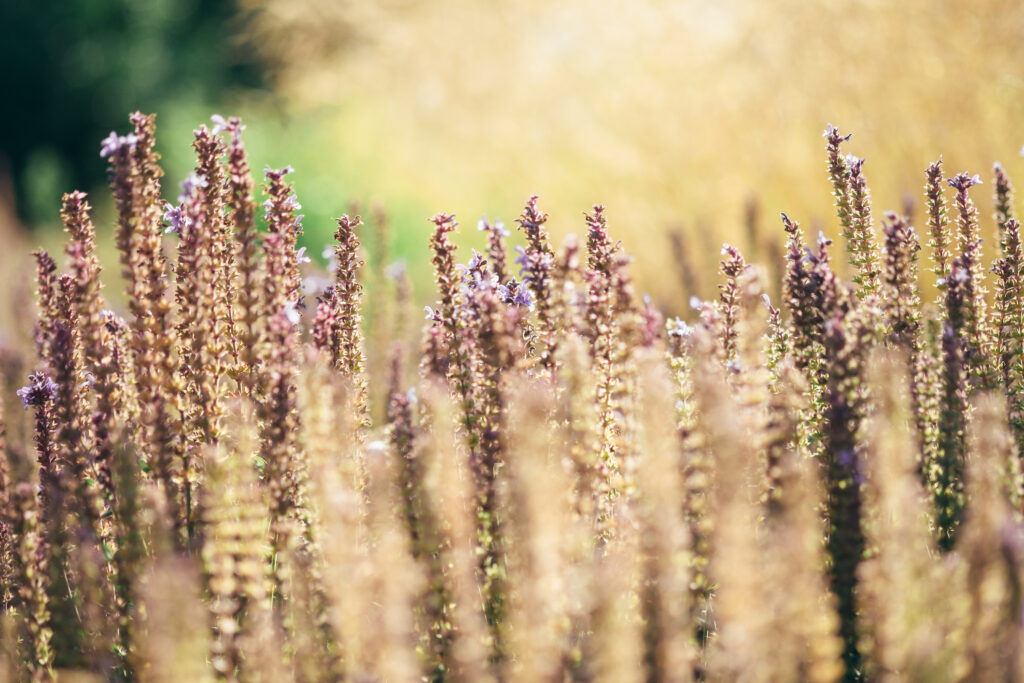 Wild oats spread treating Canadian crops